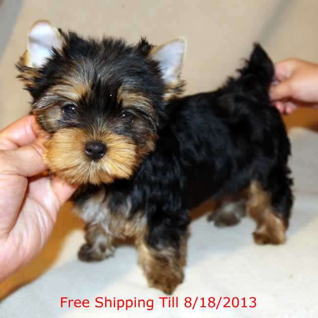 yorkies for sale   get teacup puppy carrie