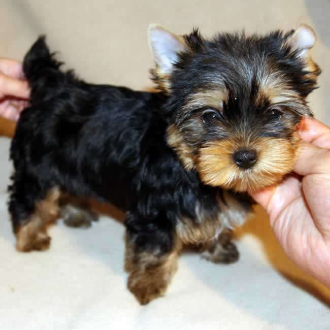 Yorkies For Sale - Get Teacup Puppy Carrie