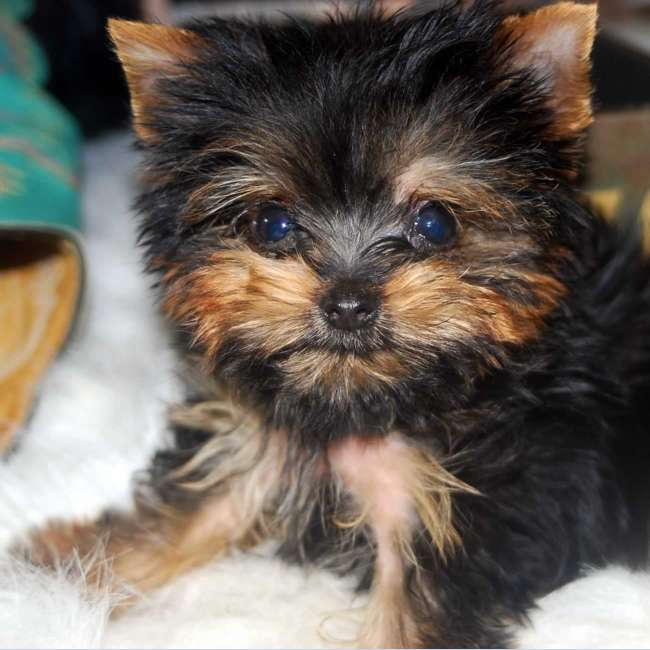 tea cup yorkie images yorkies for sale get teacup yorkie puppy dave 1960