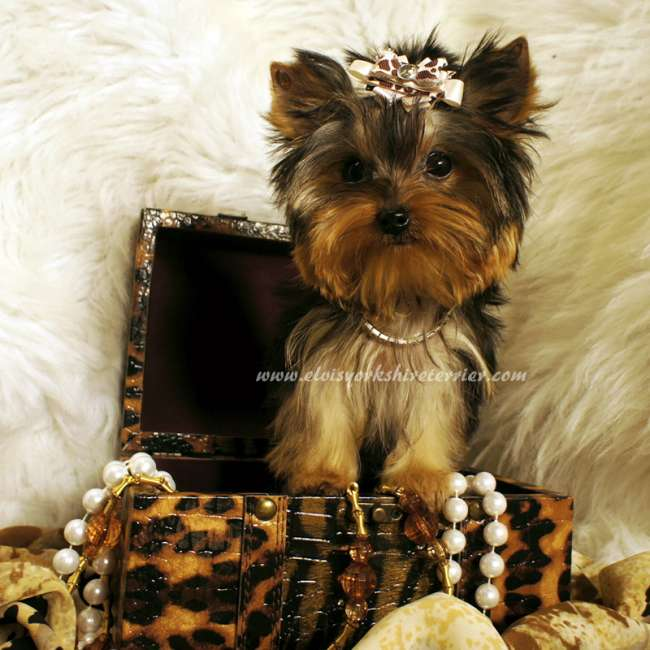 April – Female Teacup Yorkshire Terrier for sale