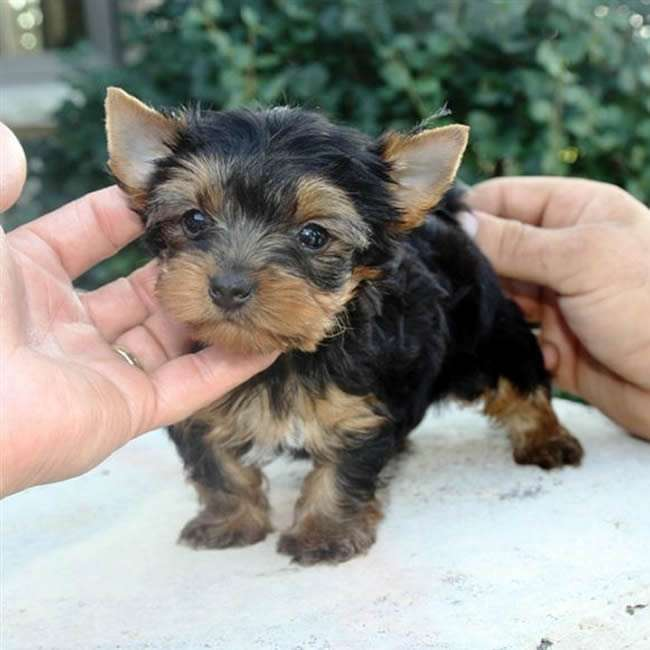 teacup yorkshire terrier puppy for sale teacup yorkshire terrier for sale gloria teacup yorkies sale 8485