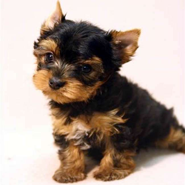 teacup terrier teacup yorkie puppies for sale in cadillac 6764
