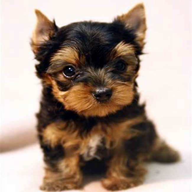 teacup yorkshire terrier puppy for sale teacup yorkshire terrier for sale gloria teacup yorkies sale 5103