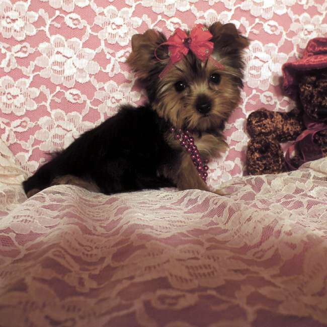 Teacup Yorkshire Terrier Puppies For Sale - Marlie- AKC Female Teacup ...