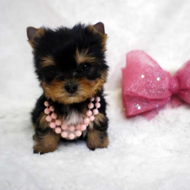 Female Tiny Puppy For Sale - Barbie Teacup Yorkies Sale