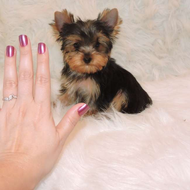 Toy Yorkie For Sale Keith Teacup Yorkies Sale