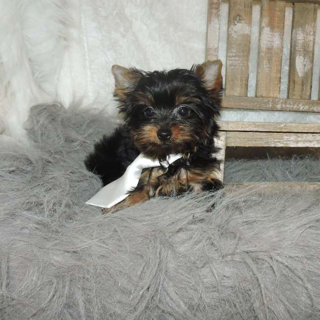 Yorkies For Sale Get Toy Yorkshire Terrier Bradly