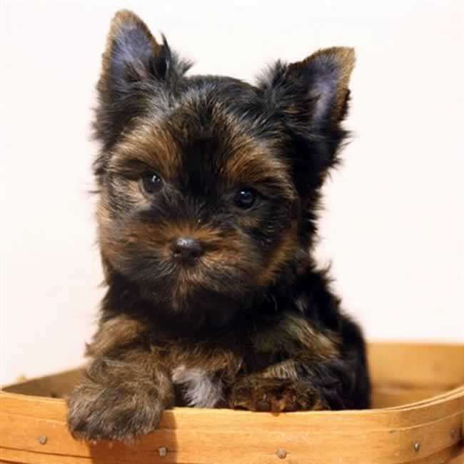 Yorkie Puppy Toys – Wow Blog