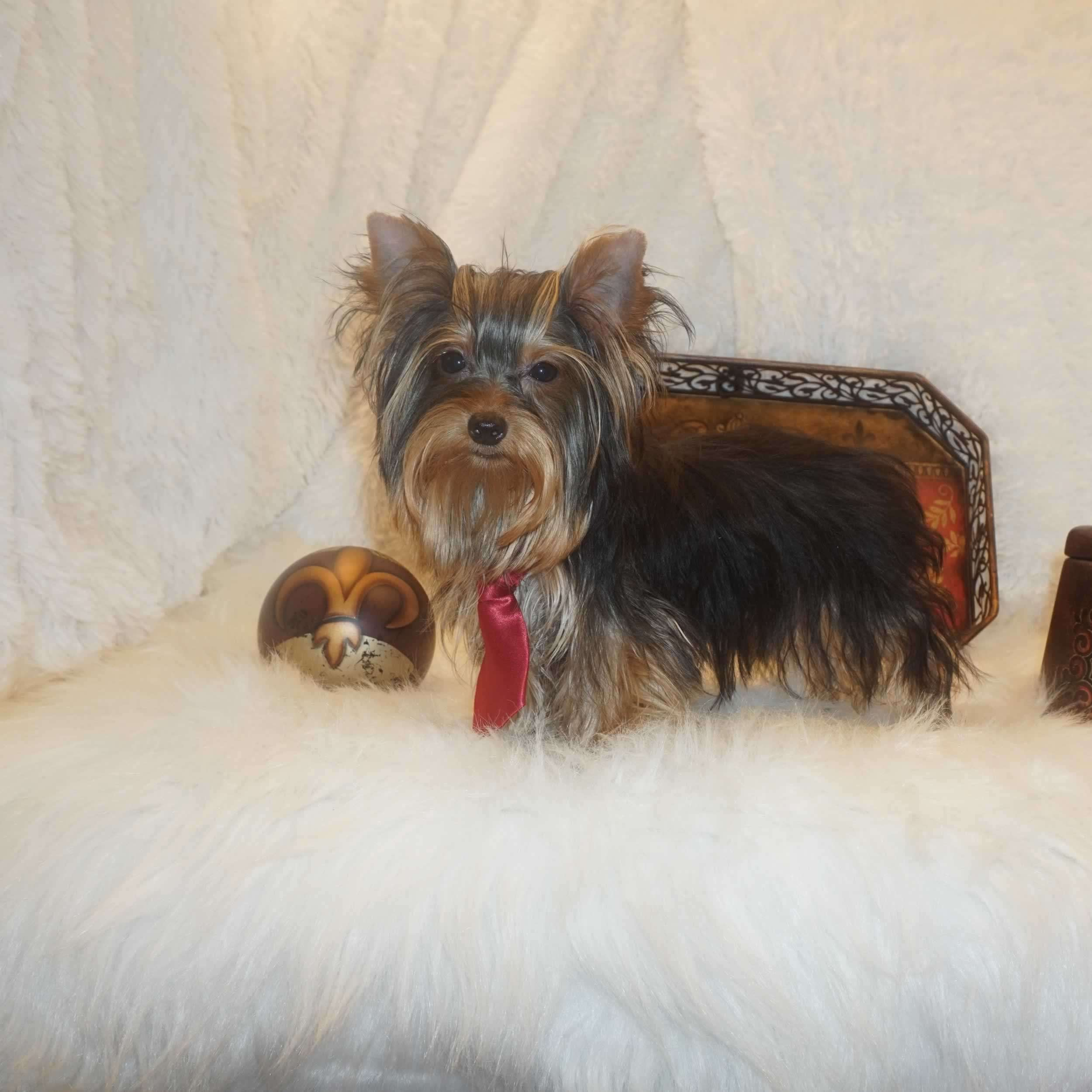 Yorkies For Sale - Buy Tiny Yorkshire Terrier Puppy - Brad