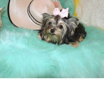 yorkshire terrier colors blue gold blue and gold colored traditional yorkies for sale elvis 8223