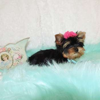Female - Yorkie - Cristy