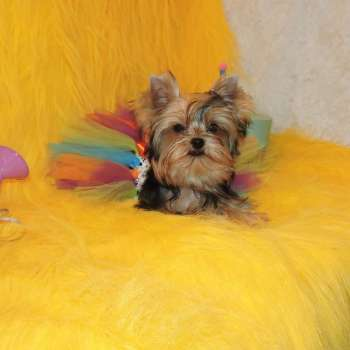 Female Yorkie Puppy Lacy