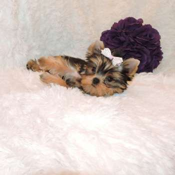 Female Yorkshire Terrier Puppy Lisa