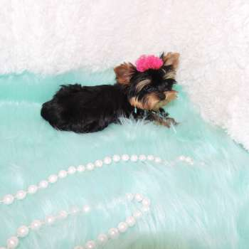 Little - Yorkshire - Terrier - Puppy - Cristy - 08-23-2017