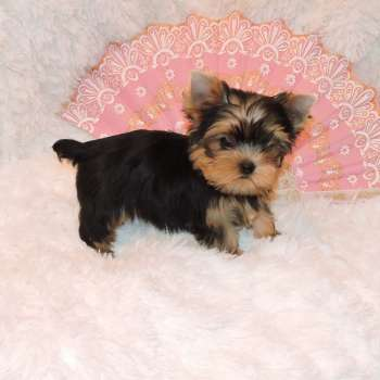 Little Yorkie Female Pup