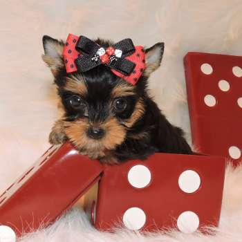 Male Teacup Yorkie Puppy