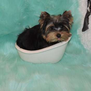 Male Yorkshire Terrier Craig