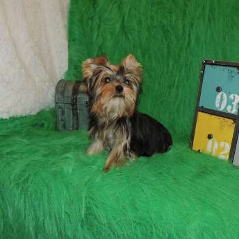 Male Yorkshire Terrier Puppy  Lance