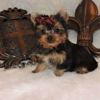 Miniature Yorkshire Terrier Pup