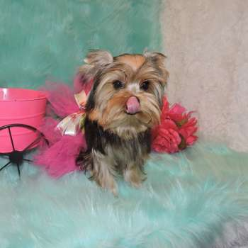 Small Toy Standard Yorkie Lina