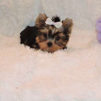 Small Yorkshire Terrier Puppy Lisa