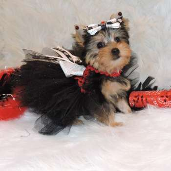 Small Yorkshire Terrier Pup Mandy