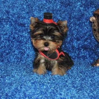 Teacup Yorkie Puppy Online