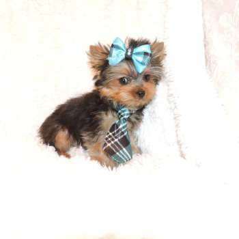 Teacup Face Yorkie Pup For Sale
