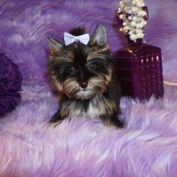 Tiny Teacup Yorkie