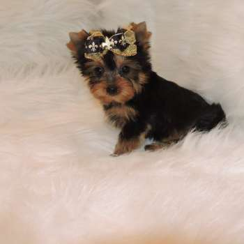 Tiny Yorkshire Terrier Pup