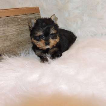 Tiny Yorkshire Terrier Puppy
