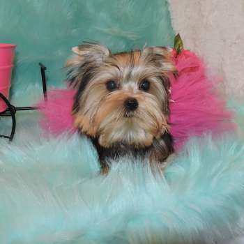 Toy Yorkie Female Puppy Lina