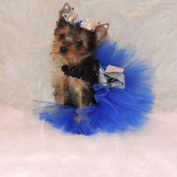 Yorkshire Terrier Pup Lola