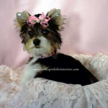 Female AKC Parti Colored Yorkie Sale - Tierney