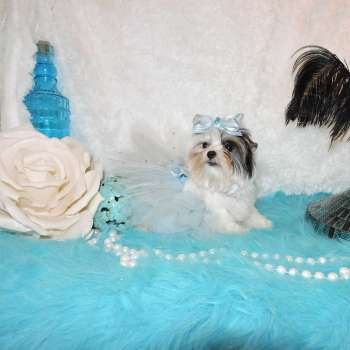 baby doll face yorkshire terrier alicla 1 (2)