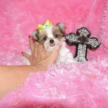 Baby Doll Yorkies For Sale