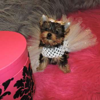 Babydoll Face Yorkie Pup