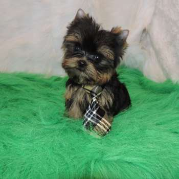 Babydoll Face Yorkshire Terrier