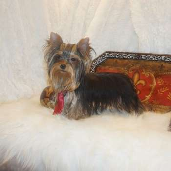 yorkshire terrier colors blue gold blue and gold colored traditional yorkies for sale elvis 5865