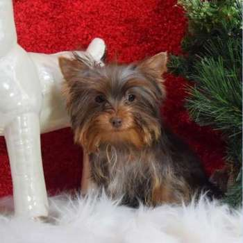 Order Male Yorkshire Terrier Puppy Dog