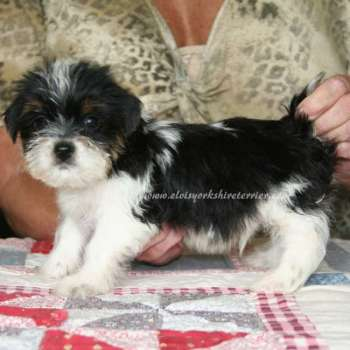 Male Parti Yorkshire Terrier Puppies
