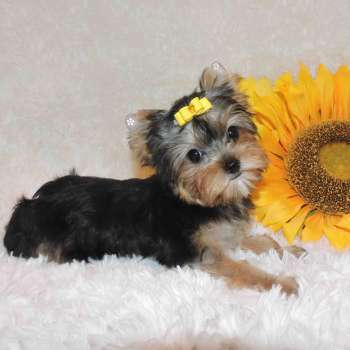 Teacup Yorkshire Terrier Pup