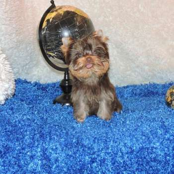 Chocolate Male Teacup Yorkie Puppy