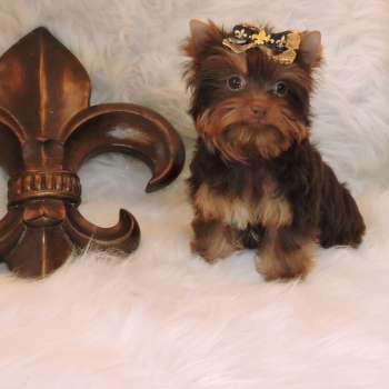 Chocolate Yorkie For Sale