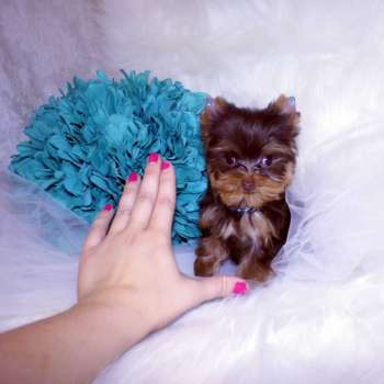 Chocolate Yorkie Pup For Sale