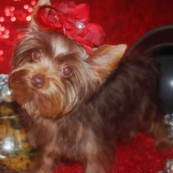 Female Chocolate Yorkie Puppy For Sale
