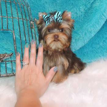 Chocolate Yorkshire Terrier Pup