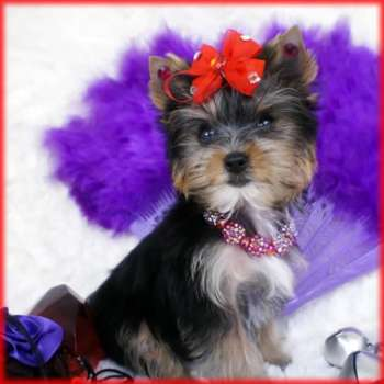 Female Micro Teacup Yorkie Pup For Sale