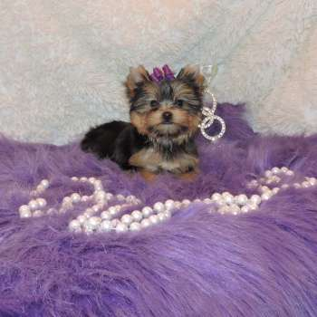 Female Mini Yorkie Puppy