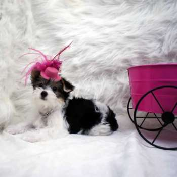 Female Parti Yorkie Pup For Sale